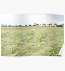 Green Barley Field with Sky Poster