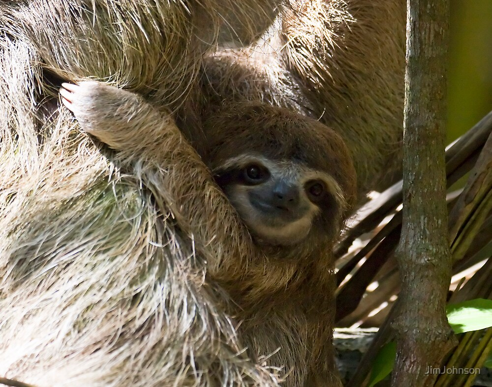 Baby Sloth by JimJohnson