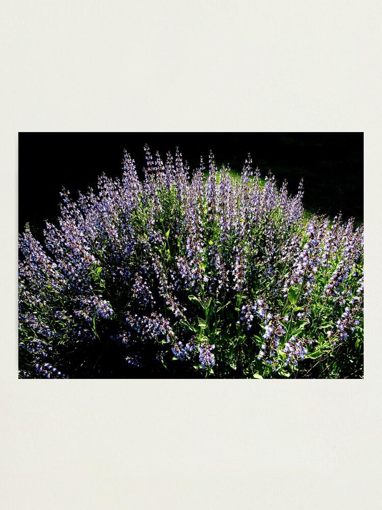 Alternate view of Purple Profusion Photographic Print