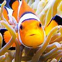 Clownfish In Anemone Case Skin For Samsung Galaxy By Daphsam Redbubble