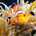 Clownfish In Anemone Art Print By Daphsam Redbubble