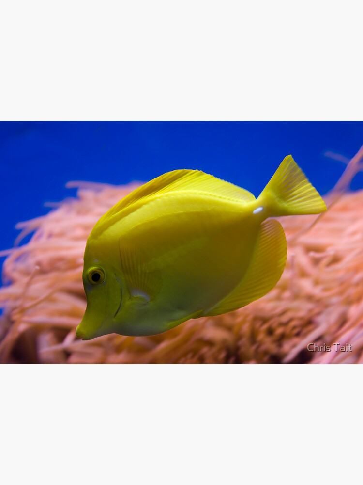 Yellow Tang by christait