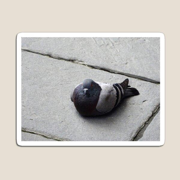 Majestic pigeon resting  Magnet