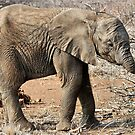 Hungry Baby Elephant -  THE AFRICAN ELEPHANT – Loxodonta africana by Magriet Meintjes
