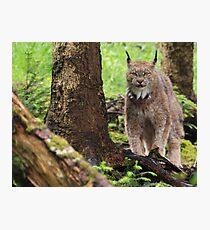 The Lynx Photographic Print
