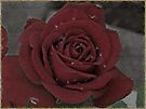 Vintage Red Rose by Shelly Harris