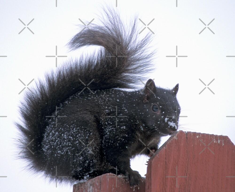 Snowy Black Squirrel  by Bill Spengler