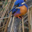 Azure kingfisher 06 by Werner Padarin
