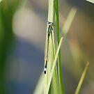 Blue Tailed Damselfly by dougie1