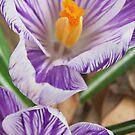 Purpled Sweet  by Terri Chandler