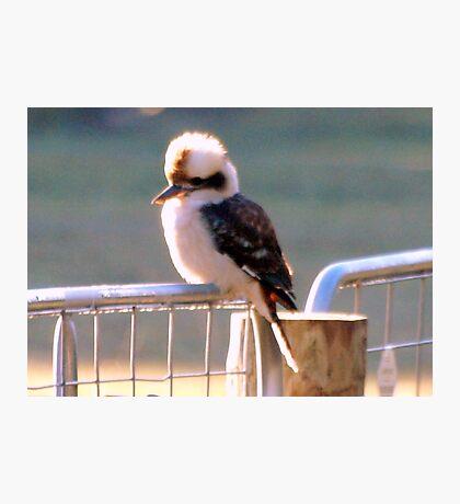 Kookaburra (Kingfisher) Photographic Print