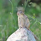 King of the Rock - chipmunk by Linda Crockett