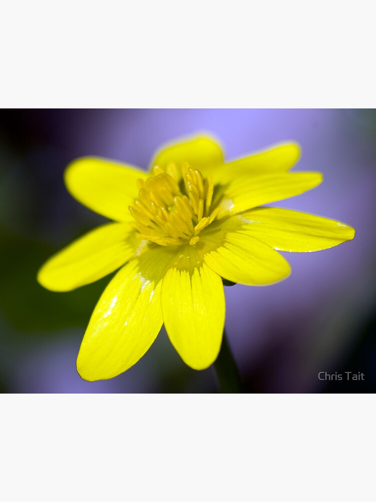 Yellow Celendines by christait