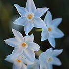 Winters Glow of Paperwhite Flowers by Joy Watson