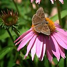 Brown Butterfly on Cone Flower by Colleen Drew