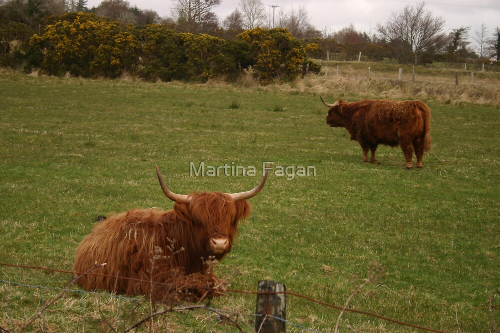 Aberdeen Angus by Martina Fagan