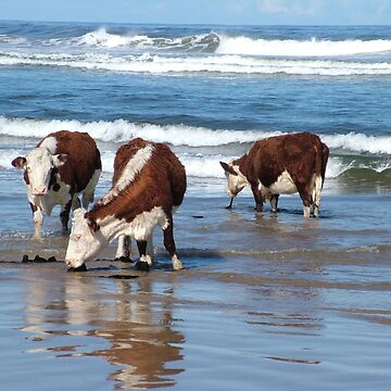 Cattle at shore line at Kings run north of Arthur River in far nor west Tasmania by phillip24