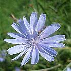 Chicory - Cichorium intybus by Ana Belaj