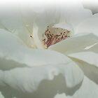 White rose by Ana Belaj