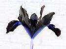 Black Iris by Veronica Schultz