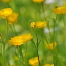 Field of Buttercups  by Nancy Barrett