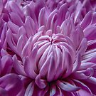 Dahlia Purple Explosion by Gregory J Summers