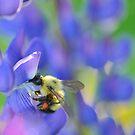Bee and Lupine by Nancy Barrett