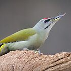 Male Grey-Headed Woodpecker by Dominika Aniola