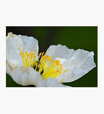 Spring White Poppy Macro Photographic Print