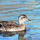 Quiet quack by coastal