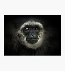 Silvery Gibbon Photographic Print