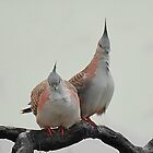 Crested pigeons by Peter Krause