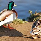 known mallard pair by dougie1