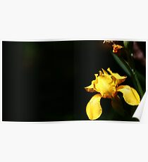 yellow flower with black background Poster