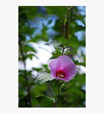 Pink Hollyhock Photographic Print