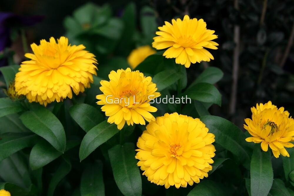 Yellow Chrysanthemum III by Gary L   Suddath