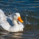 Duck Enjoying the Water by TJ Baccari Photography