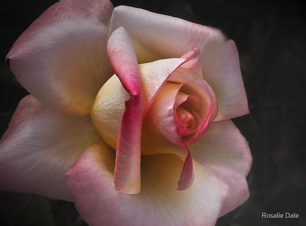 Soft Rose . . . by Rosalie Dale