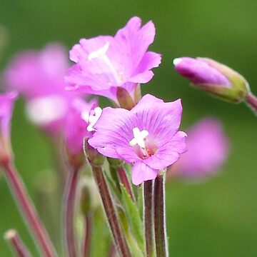 Flowers by chuzzelpuff