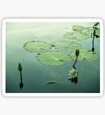 Water Lilies in Bloom Sticker