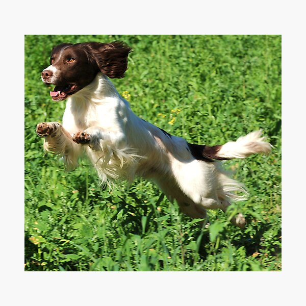 A real springer Photographic Print