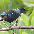 Tui - doing the wibble wobble walk......!! by Roy  Massicks