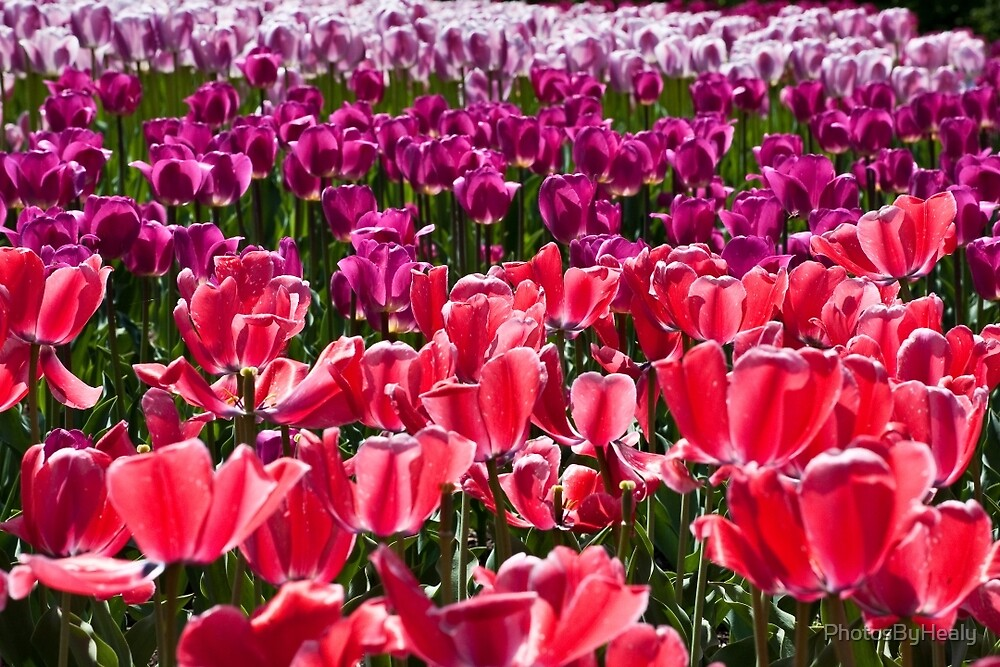 Tulips galore by PhotosByHealy