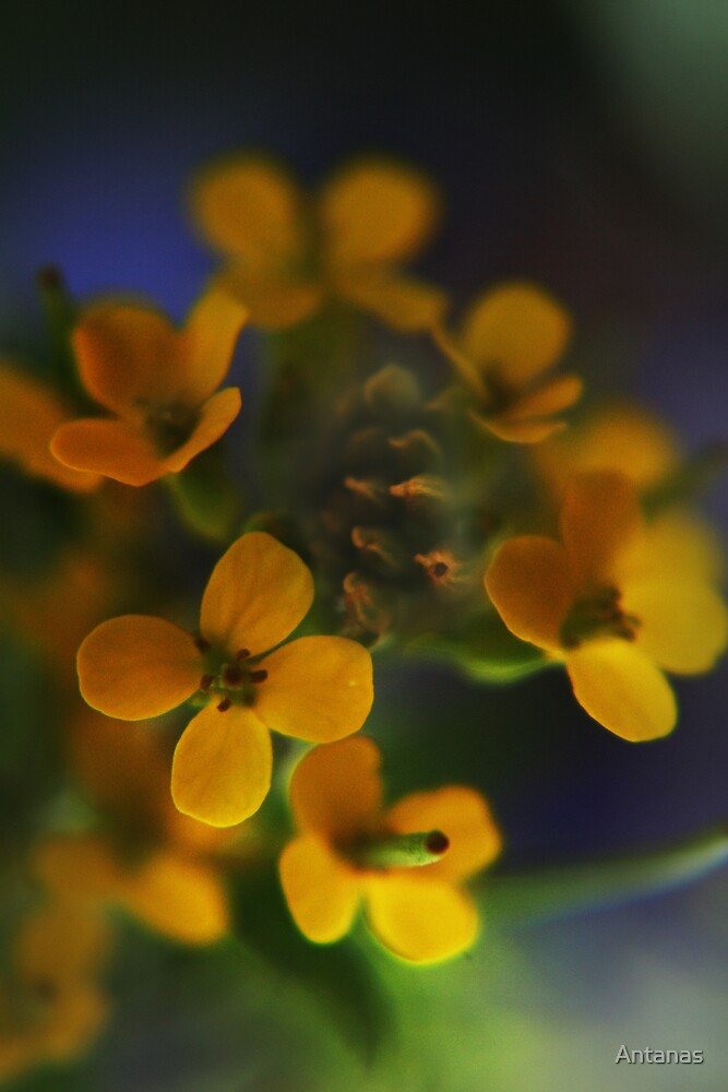 Yellow Wreath (from wild flowers collection) by Antanas
