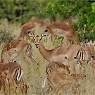 Come children, time to go! IMPALA – Aepyceros melampus melampus – ROOIBOK by Magriet Meintjes