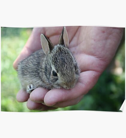Baby rabbit Poster