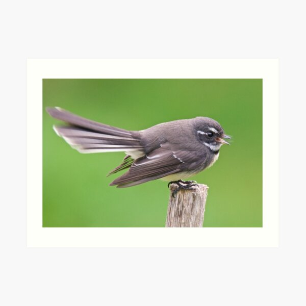 FANTAIL ~ Grey Fantail A6K3YdRG by David Irwin ~ WO Art Print