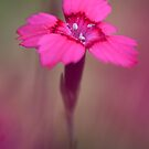 Pink Splash by Sarah-fiona Helme
