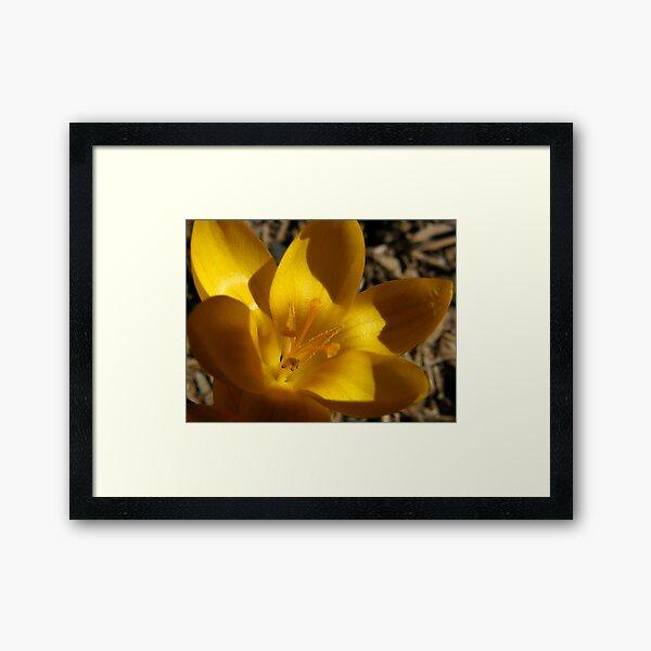 Golden Crocus Framed Art Print