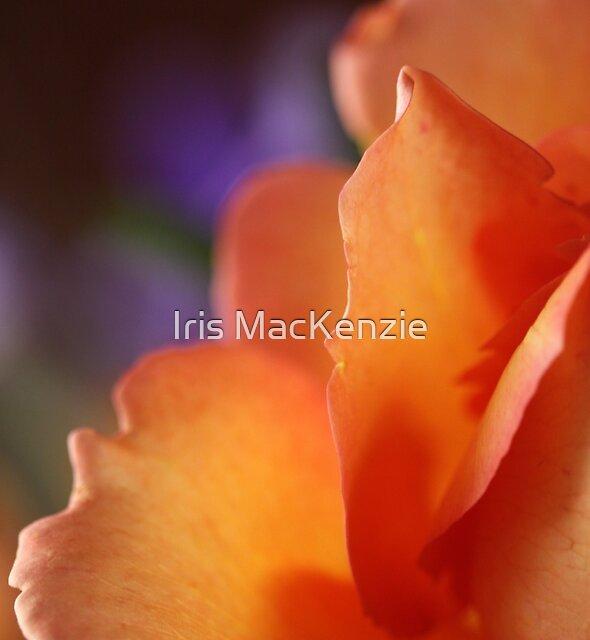 Rose Dreams by Iris MacKenzie